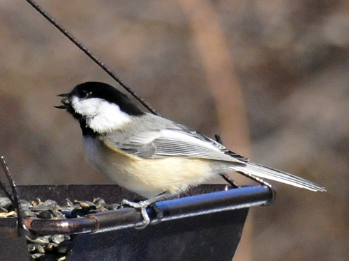 chickadee close