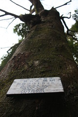 クスノキ(Camphor tree at Shikinomori park, Japan)