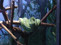 green tree python by amadeusmusicinstruction