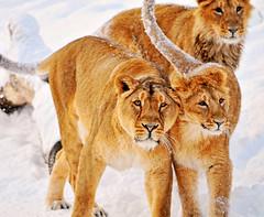 Walking against each other (Tambako the Jaguar) Tags: winter wild snow cat walking zoo switzerland big nikon feline leo zurich lion kitty lions zürich asiatic löwe d300 panthera pantheraleo vosplusbellesphotos