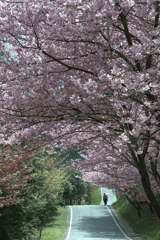 武 陵 春 櫻