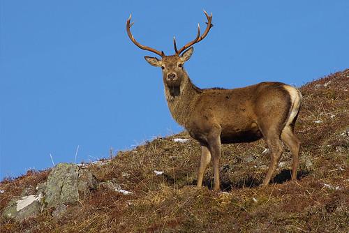 Red Deer 3