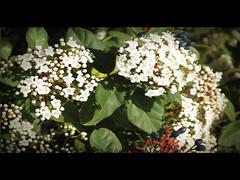 mettete un FIORE nei vostri cannoni _ http://www.vincenzofiore.it/ (Elena Fedeli) Tags: flowers blue blur verde green leaves foglie dof blossom bokeh blu fiori puglia bari apulia torreamare boccioli pitosforo canonpowershotg10 canong10