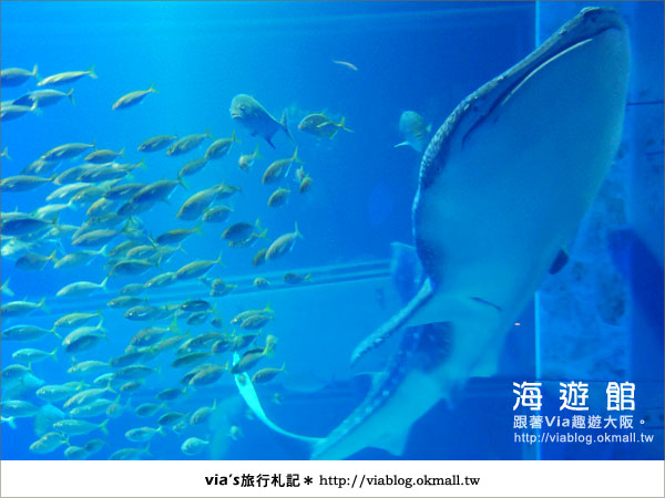 【via關西冬遊記】世界最大極的水族館~大阪海遊館17