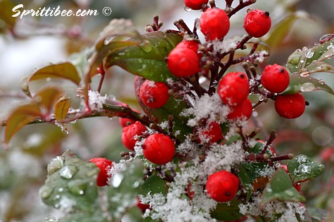 berries-snow