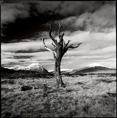 rannoch tree (michael prince) Tags: scotland hasselblad moor rannoch