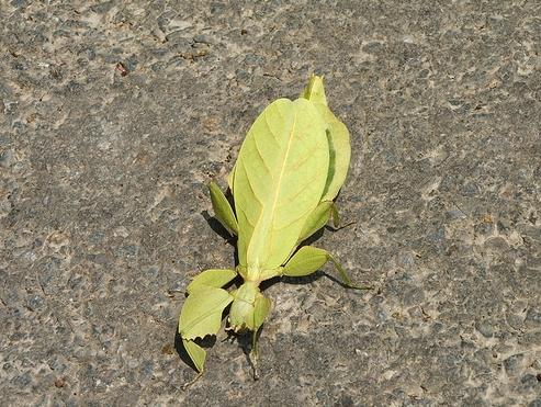 leaf-mantis