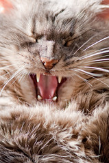 Fierce Angel (Apogee Photography) Tags: cats cat nikon dof fierce bokeh teeth yawn kitty gatos depthoffield whiskers gato mainecoon kitties mainecoone 105mm nikon105mmf28 d5000 nikond5000