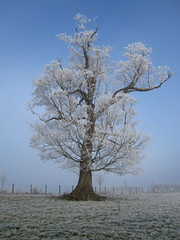 Frosty Oak Tree