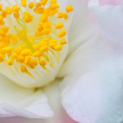 (HipChicklette (perenially catching up)) Tags: pink white flower macro yellow petals florida bokeh gainesville pistil petal stamen variegated anther butterflyrainforest
