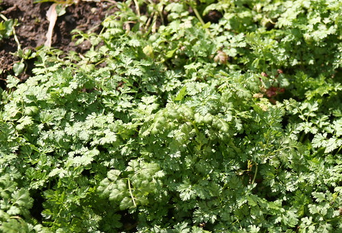 Chervil in Winter Time