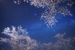 Cherry blossom galaxy (masahiro miyasaka) Tags: flowers blue cold flower japan night canon stars outdoors iso3200 star galaxy astrophotography oneshot summertriangle abigfave Astrometrydotnet:status=failed eos5dmark Astrometrydotnet:id=alpha20100316422836