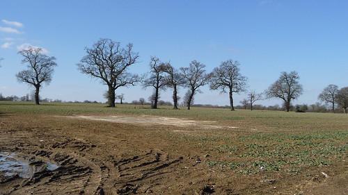 Field Oaks