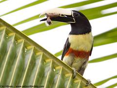 Black-necked Aracari_Pteroglossus aracari