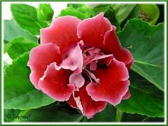 Sinningia speciosa (Florist's Gloxinia, Brazalian Gloxinia) - red double flowers
