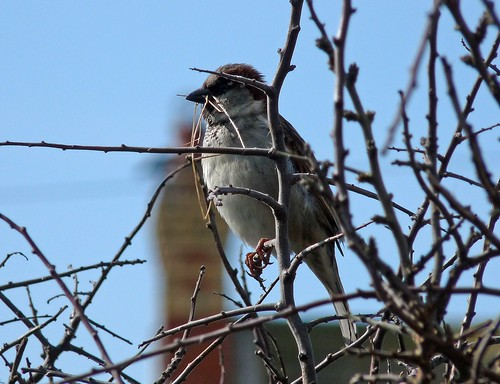 12119 - House Sparrow at Rhossili Downs