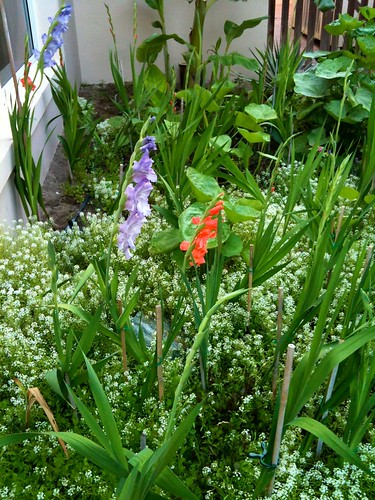 The Gladiolus
