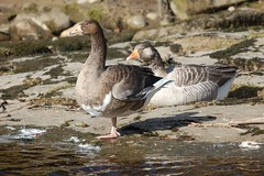 Pair of Greylag Geese (dave millers photos) Tags: abbey birds geese walk pair railway british nr easby greylag richmondshire