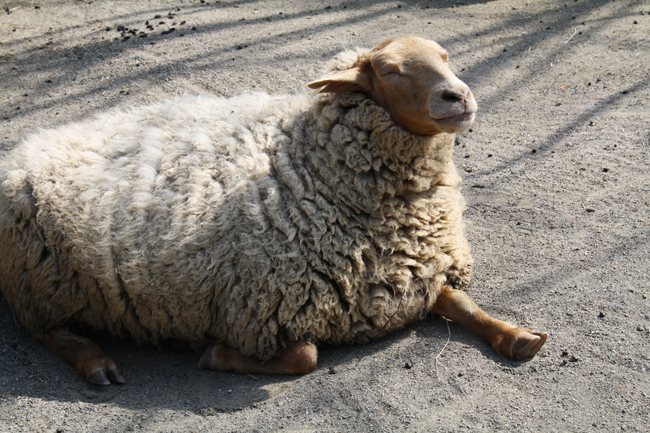 world's most awesomest sheep