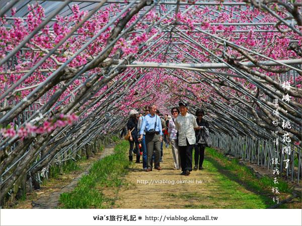 【梅峰農場桃花緣】最美的桃花隧道,就在南投梅峰這裡~(上)19
