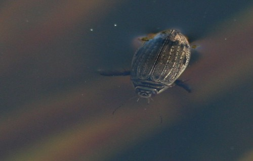 Lesser Diving Beetle