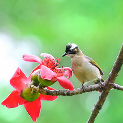 23w4545 (Ben To) Tags: flowers wild green bird nature birds wings nikon bokeh wildlife 300mm cotton songbird   chinesebulbul 300mmf4 384   naturewatcher  tc20e3