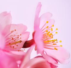 SAKURA (ajpscs) Tags: pink flower macro tree japan japanese tokyo spring nikon blossom 桜 日本 sakura nippon 新宿御苑 東京 花 tamron hanami マクロ shinjukugyoen haru excellence 春 d300 櫻 さくら 花見 サクラ b01 ニコン ajpscs タムロン tamron180mm shinjukugyoennationalgarden ubiquitoussymbolofjapan enduringmetaphor ephemeralnatureoflife pinkisthecolorofspring spaf180mmf35