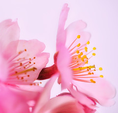 SAKURA (ajpscs) Tags: pink flower macro tree japan japanese tokyo spring nikon blossom   sakura nippon    tamron hanami