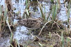 Snipe (alanrharris53) Tags: bird brandon coventry shorebird wader snipe commonsnipe gallinagogallinago brandonmarsh sigma150500 sigma150500mmf563dgoshsm