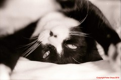 Maggie -16 (shoman666) Tags: blackandwhite cats cat ir infrared redfilter jupiter9 kodaktmax canonf1 ilfordsfx200 hoya25a