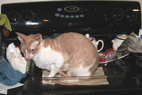 An orange and white Cornish Rex cat helpfully perches in a glass pan, atop two sheets of paper that have been antiqued.