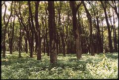tropical woods (Nina Ines) Tags: wood tree verde green arbol zoo selva bosque belohorizonte vegetacion frondosidad