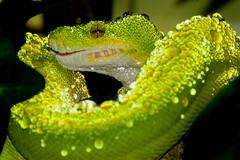 A misted snake (tammyjq41) Tags: nikon bravo waterdrops greentreepython d300 tjd moreliaviridis specanimal emeraldgreenboatreesnake sorongtype