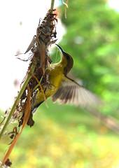 Where should put the thread? (Ah Bee Panda) Tags: nest sunbird