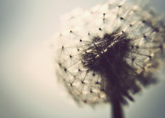 I'll never let this go. (martzART) Tags: flower detail macro blow dandelion wish wishing wishingflower