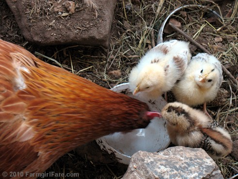 Three Chicks and Mama Hen Drinking Water