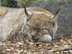 40 Wynx (Serpent66 ()) Tags: sleeping beautiful sunshine lynx dudleyzoo