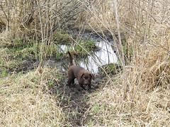 Dakota in the mud (kd.swenson) Tags: brown puppy lab chocolatelab dakota chocolatelabrador chocolatepuppy labpuppy chocolatelabpuppy