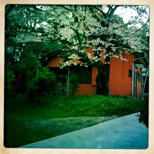 Shrine sakura