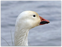 Snow goose portrait! (macfudge1UK) Tags: uk portrait england nature closeup fauna spring europe wildlife bank waterbird goose lakeside waterfowl oxfordshire anser 2010 oxon snowgoose lessersnowgoose ansercaerulescens stantonharcourt allrightsreserved bbcspringwatch countryfile s100fs naturethroughthelens fujifilmfinepixs100fs alittlebeauty