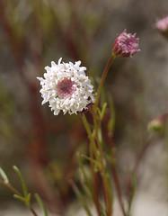 fremont's pincusion - chaenactis fremontii