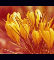 Spring (Frank Wuestefeld) Tags: flowers red naturaleza flower rot nature yellow canon eos rebel 50mm natur blumen crocus lena gelb creativecommons 50 blume krokus crocuses m7 krokusse 5018 worbis brenpark 400d justnatureseries frankwuestefeld