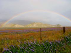 Full Rainbow Hugging a Field of Lupine Dreams