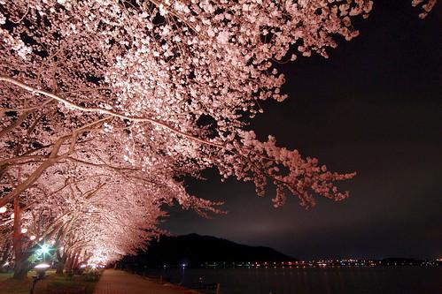湖岸の桜 : 河口湖円形ホールあたりの
