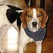 Mahon, Brian & Deb - Buddy, English Coonhound