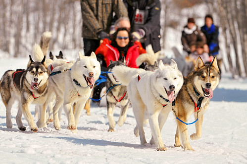 Running huskies 2