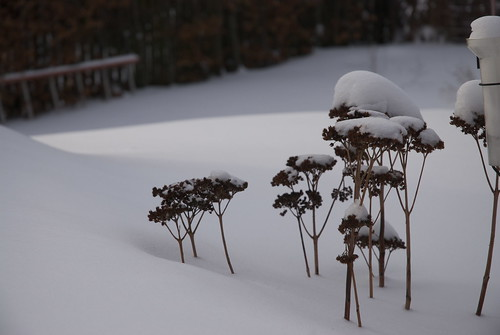 Snowy orpins