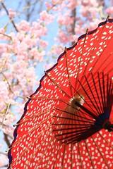 ,Sakura,wagasa,cherry blossom, (Aflnio Tomikawa) Tags: photo foto  cherryblossom  sakura japon     japonia flordecerejeira yaponiya japoni   cherryblossonsaflanio