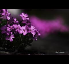 Purple Passion (Rick Armacost) Tags: flower illinois spring purple lombard 2010 lilaciapark nikkor105mmf28gvrmicro nikond300 rickarmacost