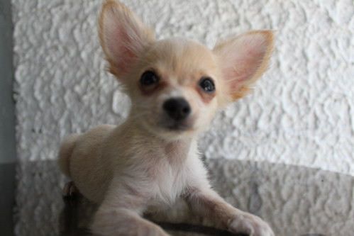brown long haired chihuahua puppy. rown long haired chihuahua